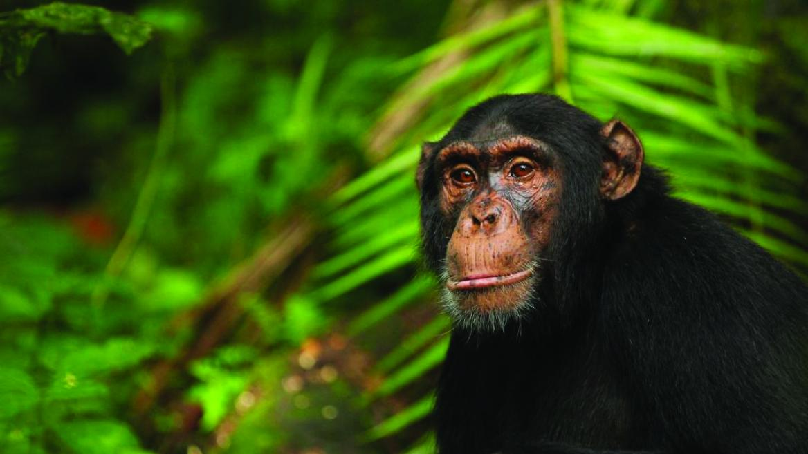 Chimpanzee named Abrams