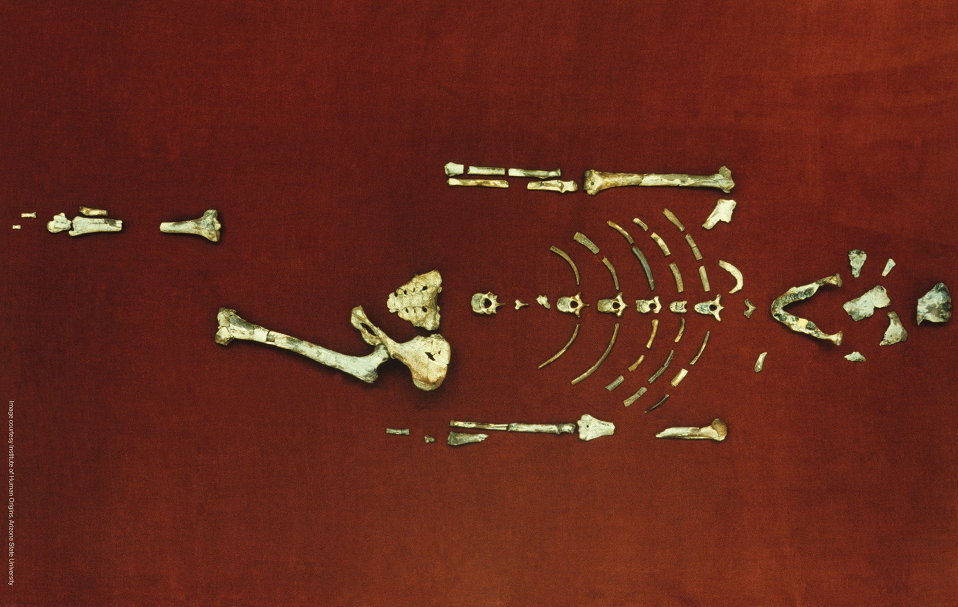 Skeleton of the hominid Lucy
