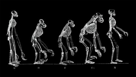 Five skeletons of various pre-modern human species