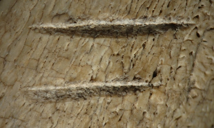 Two cut marks made by stone tools on the rib of a cow sized mammal